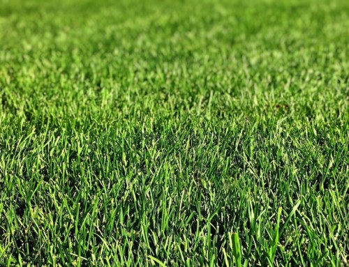 Preventing Chafer Beetles with Tall Fescue
